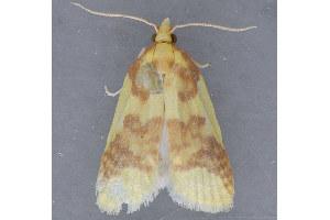 (Sparganothis pulcherrimana - MDOK-1421)  @13 [ ] Copyright (2010) Unspecified Unspecified