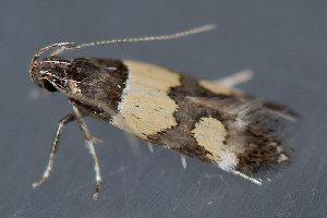 (Triclonella determinatella - MDOK-3566)  @13 [ ] Copyright (2010) Unspecified Unspecified