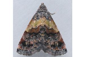 (Tripudia flavofasciata complex - MDOK-3350)  @14 [ ] Copyright (2010) Unspecified Unspecified