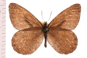 (Oeneis jutta reducta - LPOW-064)  @14 [ ] CC-0 (2008) CBG Photography Group Centre for Biodiversity Genomics
