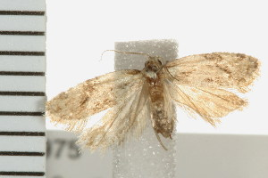 (Aethes sp. 1 - PPBP-0975)  @13 [ ] CC-0 (2008) CBG Photography Group Centre for Biodiversity Genomics