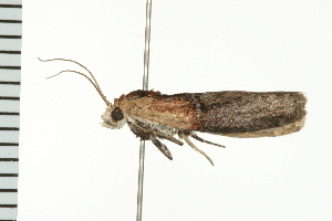 (Sciota basilaris - PPBP-1309)  @14 [ ] CC-0 (2008) CBG Photography Group Centre for Biodiversity Genomics