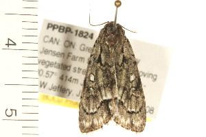(Acronicta vinnula - PPBP-1824)  @15 [ ] CC-0 (2008) CBG Photography Group Centre for Biodiversity Genomics