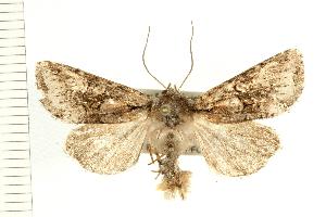 (Lacinipolia cuneata - PFC-2006-0317)  @14 [ ] CreativeCommons - Attribution Non-Commercial Share-Alike (2008) CBG Photography Group Centre for Biodiversity Genomics