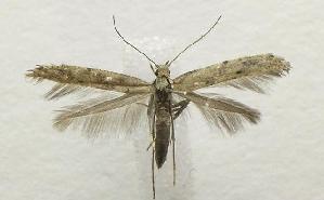 (Caloptilia strictella - MDH001943)  @14 [ ] CreativeCommons - Attribution Non-Commercial Share-Alike (2010) CBG Photography Group Centre for Biodiversity Genomics