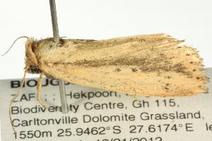 (Leucania tacuna - BIOUG06206-D01)  @12 [ ] CreativeCommons - Attribution Non-Commercial Share-Alike (2012) CBG Photography Group Centre for Biodiversity Genomics