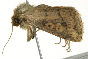 (Leucania cupreata - BIOUG02083-C12)  @13 [ ] CreativeCommons - Attribution Non-Commercial Share-Alike (2012) CBG Photography Group Centre for Biodiversity Genomics