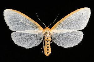 (Cycnia tenera - 06-SUSA-0218)  @15 [ ] CreativeCommons - Attribution Non-Commercial Share-Alike (2010) CBG Photography Group Centre for Biodiversity Genomics