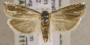 (Eucosma albuneana - TORTAG-TMG-111)  @15 [ ] Copyright (2010) Todd Gilligan Colorado State University