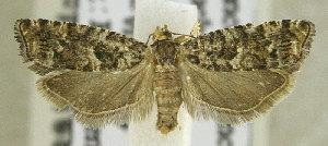 (Epinotia cedricida - TORTAG-TMG-165)  @11 [ ] Copyright (2010) Todd Gilligan Colorado State University