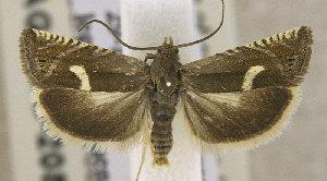 (Cydia lunulana - TORTAG-TMG-208)  @11 [ ] Copyright (2010) Todd Gilligan Colorado State University