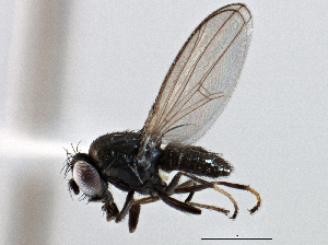 (Gymnomyzinae - CCDB-21412-D03)  @15 [ ] CreativeCommons - Attribution Non-Commercial Share-Alike (2014) CBG Photography Group Centre for Biodiversity Genomics