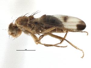 (Geomyza balachowskyi - CCDB-21320-E12)  @15 [ ] CreativeCommons - Attribution Non-Commercial Share-Alike (2014) CBG Photography Group Centre for Biodiversity Genomics