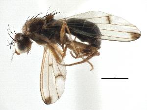 (Geomyza vespertina - CCDB-21320-F08)  @14 [ ] CreativeCommons - Attribution Non-Commercial Share-Alike (2014) CBG Photography Group Centre for Biodiversity Genomics