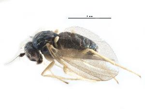 (Peloropeodinae - CCDB-23306-A08)  @15 [ ] CreativeCommons - Attribution Non-Commercial Share-Alike (2015) CBG Photography Group Centre for Biodiversity Genomics