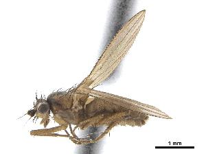 (Lonchoptera barberi - CCDB-33862-E01)  @11 [ ] CreativeCommons - Attribution Non-Commercial Share-Alike (2019) CBG Photography Group Centre for Biodiversity Genomics