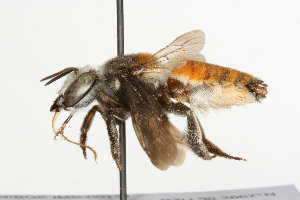 (Megachile lanata - NIBGE IMB-00131)  @15 [ ] CreativeCommons - Attribution Non-Commercial (2009) Muhammad Ashfaq, NIBGE Unspecified