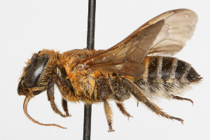 (Megachile bicolor - NIBGE IMB-00132)  @15 [ ] CreativeCommons - Attribution Non-Commercial (2009) Muhammad Ashfaq, NIBGE Unspecified
