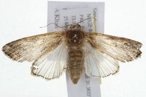 (Spodoptera litura - NIBGE IMB-00154)  @15 [ ] CreativeCommons - Attribution Non-Commercial (2009) Muhammad Ashfaq, NIBGE Unspecified