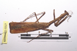 (Mantodea - NMMAN11-0327)  @14 [ ] Unspecified (default): All Rights Reserved  Unspecified Unspecified
