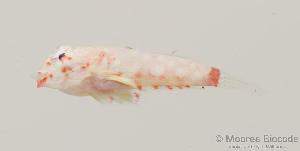 (Synchiropus ocellatus - MBIO1528.4)  @14 [ ] Unspecified (default): All Rights Reserved  Unspecified Unspecified