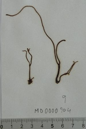 nemalion helminthoides taxonomie enterobius vermicularis nhg