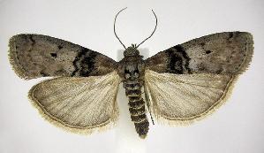 (Tlascala reductella - jflandry0607)  @14 [ ] Copyright (2007) Jean-Francois Landry Canadian National Collection