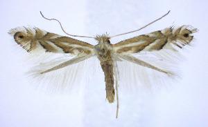 (Phyllonorycter ostryaefoliella - jflandry0189)  @14 [ ] Copyright (2007) Jean-Francois Landry Canadian National Collection