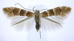 (Phyllonorycter tritaenianella - jflandry0201)  @15 [ ] Copyright (2007) Jean-Francois Landry Canadian National Collection