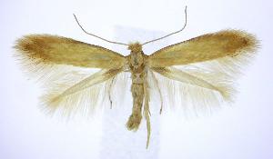 (Coptotriche citrinipennella - jflandry0212)  @14 [ ] Copyright (2007) Jean-Francois Landry Canadian National Collection