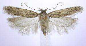 (Chionodes adamas - jflandry0265)  @14 [ ] Copyright (2007) Jean-Francois Landry Canadian National Collection
