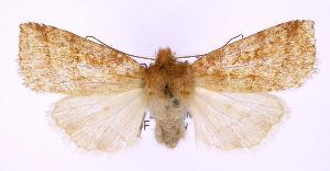 (Pyreferra pettiti - jflandry0186)  @15 [ ] Copyright (2007) Jean-Francois Landry Canadian National Collection