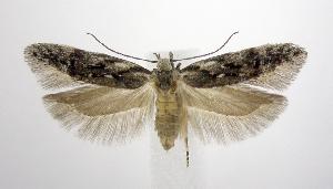 (Carpatolechia - jflandry0663)  @15 [ ] Copyright (2007) Jean-Francois Landry Canadian National Collection