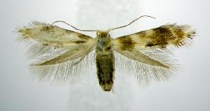 (Bucculatrix polytita - jflandry0899)  @14 [ ] Copyright (2007) Jean-Francois Landry Canadian National Collection
