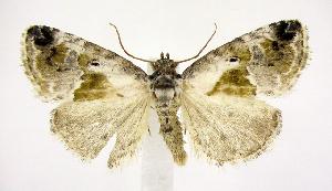 (Maliattha synochitis - jflandry0712)  @15 [ ] Copyright (2007) Jean-Francois Landry Canadian National Collection