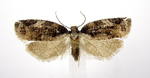 (Platynota exasperatana - jflandry1012)  @15 [ ] Copyright (2007) Jean-Francois Landry Canadian National Collection