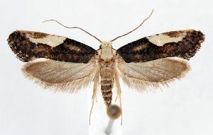 (Monopis pavlovskii - jflandry1249)  @14 [ ] Copyright (2007) Jean-Francois Landry Canadian National Collection
