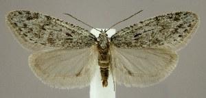 (Semioscopis megamicrella - jflandry1736)  @14 [ ] Copyright (2007) Jean-Francois Landry Canadian National Collection