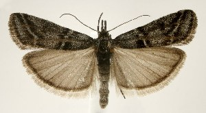 (Sarata caudellella - jflandry1742)  @14 [ ] Copyright (2007) Jean-Francois Landry Canadian National Collection