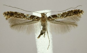 (Caloptilia serotinella - jflandry1816)  @14 [ ] Copyright (2007) Jean-Francois Landry Canadian National Collection