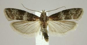 (Moodna ostrinella - jflandry2028)  @14 [ ] Copyright (2007) Jean-Francois Landry Canadian National Collection