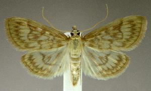 (Crocidophora - jflandry2169)  @15 [ ] Copyright (2007) Jean-Francois Landry Canadian National Collection