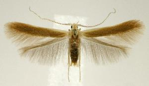 (Coleophora laticornella - jflandry2378)  @15 [ ] Copyright (2007) Jean-Francois Landry Canadian National Collection