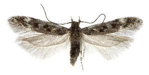 (Gnorimoschema vibei - jflandry2537)  @14 [ ] Copyright (2007) Jean-Francois Landry Canadian National Collection
