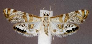 (Petrophila kearfottalis - jflandry2570)  @15 [ ] Copyright (2007) Jean-Francois Landry Canadian National Collection