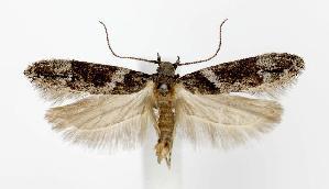(Neotelphusa - jflandry2703)  @15 [ ] Copyright (2007) Jean-Francois Landry Canadian National Collection
