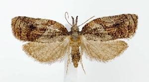 (Platynota idaeusalis - jflandry2738)  @14 [ ] Copyright (2007) Jean-Francois Landry Canadian National Collection