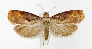 (Episimus tyrius - jflandry2756)  @14 [ ] Copyright (2007) Jean-Francois Landry Canadian National Collection