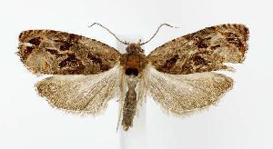 (Olethreutes viburnanum - jflandry2772)  @14 [ ] Copyright (2007) Jean-Francois Landry Canadian National Collection