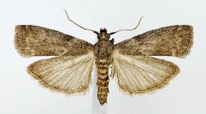 (Oreana unicolorella - jflandry2894)  @15 [ ] Copyright (2007) Jean-Francois Landry Canadian National Collection